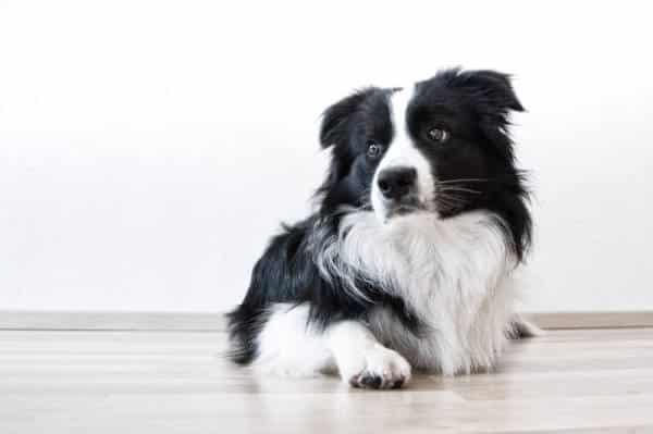 Hund Border Collie